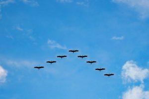 Aves migratorias volando en forma de V