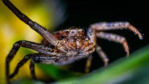Araña en primer plano amenazante y peligrosa